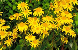 Arnica: Uses, Benefits & Side Effects